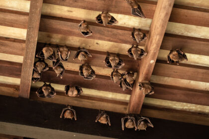 Bats In Your Attic | Any Pest