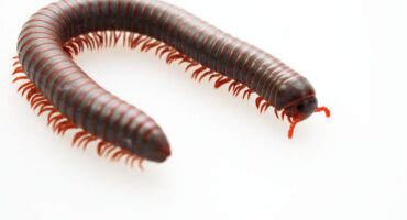Millipedes   Any Pest