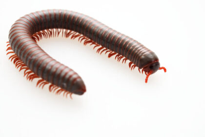 Millipedes | Any Pest