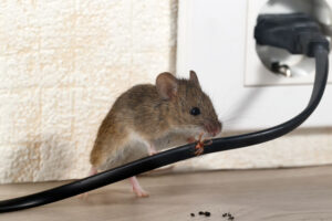 Rodents Damage Wires | Any Pest