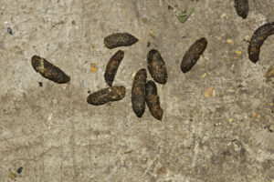 Rat Droppings | Any Pest