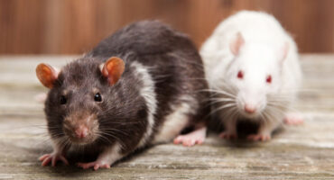 Dangers Of Rodents In Home | Any Pest