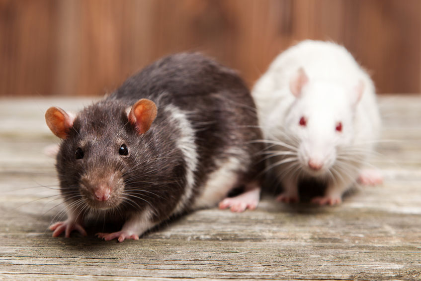 The Dangers Of Rodents In Your Home | Any Pest