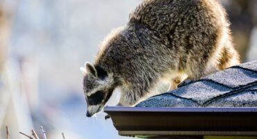 Raccoons In My Attic   Any Pest, Inc