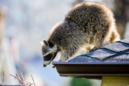 Raccoons In My Attic | Any Pest, Inc