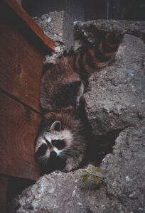 Raccoon Removal Atlanta | Any Pest, Inc