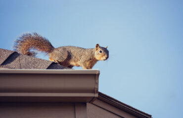 Dangers of Squirrels in Your Home   Any Pest