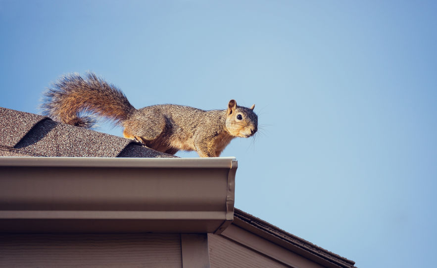 Dangers of Squirrels in Your Home | Any Pest