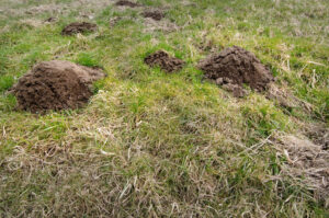 Mole Tunnels In Yard | Any Pest