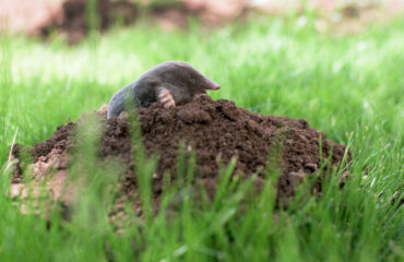 How To Get Rid Of Moles In Your Yard | Any Pest