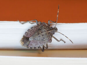 Stink Bugs In Our Homes During Winter | Any Pest