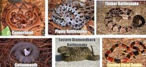 Venomous Snakes In GA   Any Pest