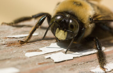Carpenter Bee Prevention For Your Home | Any Pest