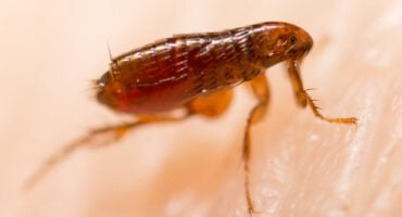 Fleas In Your Home | Any Pest