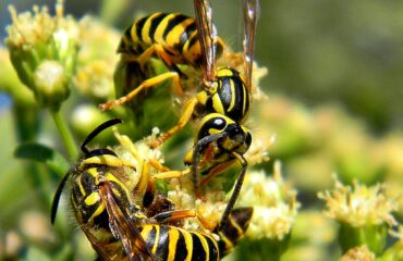 Yellow Jacket Prevention | Any Pest