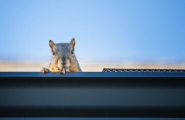 How To Prevent Squirrels in Attic | Any Pest